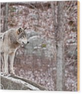 Timber Wolf On Rocks Wood Print by Michael Cummings