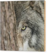 Timber Wolf Picture - Tw285 Wood Print