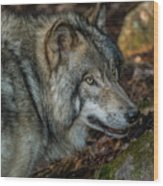 Timber Wolf Picture - Tw417 Wood Print
