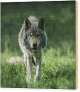 Timber Wolf Picture - Tw69 Wood Print