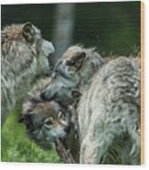 Timber Wolf Picture - Tw70 Wood Print