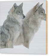 Timber Wolf Portrait Of Pair Sitting Wood Print