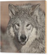 Timber Wolf Portrait Wood Print