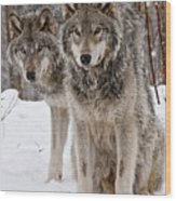Timber Wolves In Winter Wood Print