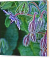 Tiny Blue Flower On A Bush At Pilgrim Place In Claremont-california  Wood Print