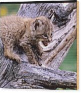 Tiny Bobcat Kitten Wood Print