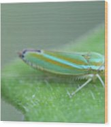 Tiny Leafhopper On Cucumber Leaf Wood Print