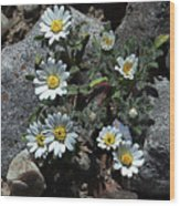 Tiny White Flowers In The Gravel Wood Print