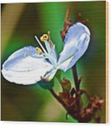 Tiny White Wildflower In Vicente Perez Rosales National Park Near Puerto Montt-chile  Wood Print