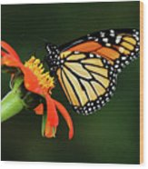 Tithonia Loving Monarch Wood Print