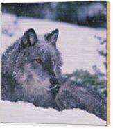 T.kitchin, 19552c Gray Wolf, Winter Wood Print
