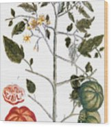 Tomato Plant, 1735 Wood Print