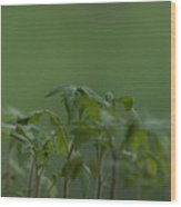 Tomato seedlings in the morning Wood Print