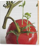 Tomato Seedlings Sprouting Wood Print