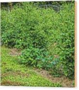 Tomatoes In Garden 2906t Wood Print
