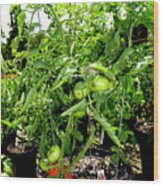 Tomatoes On The Vine Wood Print