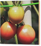 Tomatoes Ripening On The Vine Wood Print