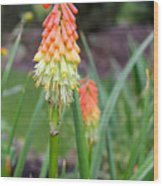 Torch Lily Flower Wood Print
