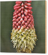 Torch Lily Wood Print