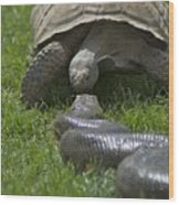Tortoise Kissing An Anaconda Wood Print