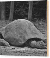 Tortoise Relaxing Wood Print