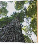 Towering California Redwood Trees Wood Print