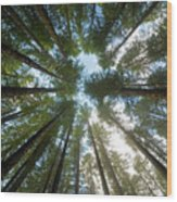 Towering Fir Trees In Oregon Forest State Park Wood Print