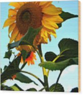 Towering Sunflower Wood Print