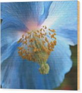 Translucent Blue Poppy Wood Print by Carol Groenen