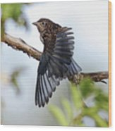 Translucent Juvenile Bluebird Wood Print