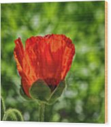 Translucent Poppy Wood Print