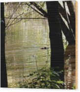 Tree Bowing To Swimming Beaver  Wood Print