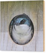 Tree Swallow In Nest Box Wood Print