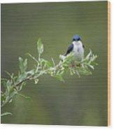 Tree Swallow Male Wood Print