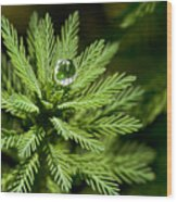 Tree Top Dew Drop Wood Print