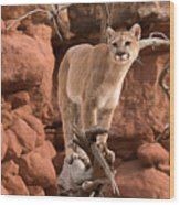 Treed Mountain Lion Wood Print