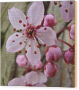 Trees Art Prints Canvas Pink Blossoms Spring Blue Sky Baslee Troutman Wood Print