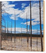 Trees In The Midway Geyser Basin Wood Print