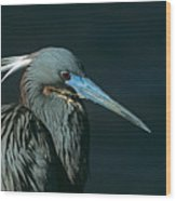 Tri Colored Heron Displaying Breeding Plumage Wood Print