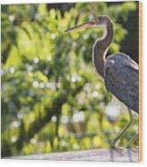 Tri-colored Heron Fledgling  Wood Print