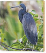 Tri-colored Heron On A Branch  Wood Print