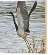 Tri Colored Heron Takeoff Wood Print