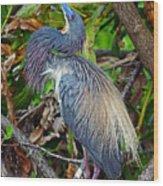 Tricolor Breeding Display Wood Print