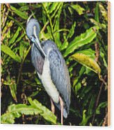 Tricolored Heron 3 Wood Print