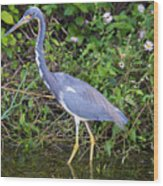 Tricolored Heron Hunting Wood Print