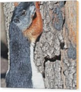 Tricolored Squirrel Wood Print