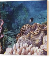 Tridacna Squamosa  Wood Print