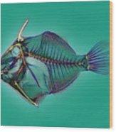 Triggerfish Skeleton, X-ray Wood Print