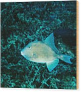 Triggerfish Swimming Over Coral Reef Wood Print