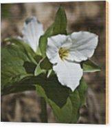 Trillium Grandiflorum Wood Print